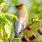 Waxwing after the rain MN
