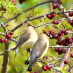Cedar Waxwing Lovers-search on youtube
