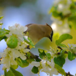 Waxwing Eating Apple Blossoms  MN