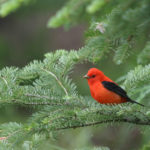 Scarlet Tanager in White Spruce MN