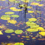 Lily Pads on pond Cohasset MN