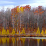 Eastern Larch Red Oaks Birches MN