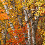Birches, Aspen and Red Maple N. MN