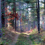 Experimental Pine Forest in Chippewa N.F. MN