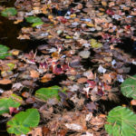 Floating Lily Pads and Leaves on Coal Lake MN