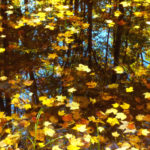 Red Maple leaves on pond Porcupine Wilderness WI