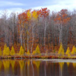 Eastern Larch, Red Oaks,  Birches MN