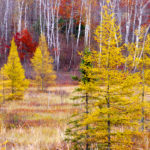 Red Maple,Tamaracks, and Birches MN