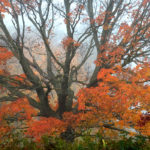 Red Maple in Fog, W. of Clarissa MN