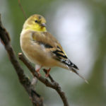 American Goldfinch male in fall MN