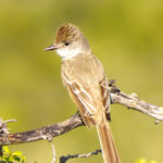 Ash-throated Flycatcher TX