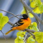 Baltimore Oriole in Spring Basswood, MN