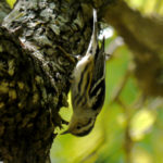 Black and White Warbler TX