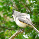 Black-crested Titmouse TX