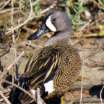 Blue-winged Teal, TX