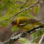 Cape May Warbler in Balsams, MN