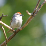 Chipping Sparrow, MN