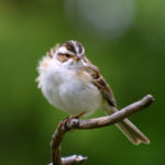 Clay-colored Sparrow MN