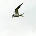 Common Tern, hovering, ND