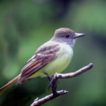Great-crested Flycatcher, MN