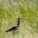 Long-billed Curlew NV