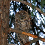 Mexican Spotted Owl at West Fork, AZ
