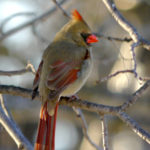 Northern Cardinal female MN