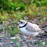 Piping Plover, Long Lake Refuge, ND