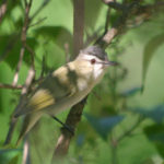 Red-eyed Vireo,  MN