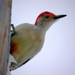Red-bellied Woodpecker close-up, MN