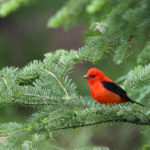 Scarlet Tanager male in White Spruce, MN