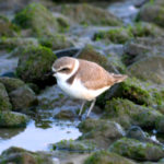 Snowy Plover at Trestles beach,  CA