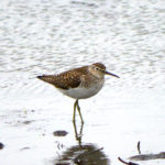Solitary Sandpiper ND