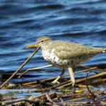 Spotted Sandpiper along Mississippi R., northern MN