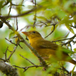 Summer Tanager female TX