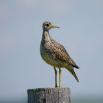 Upland Sandpiper ND