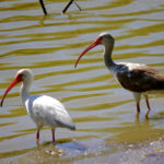 White Ibises adult and imm. , S. TX