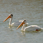White Pelicans, Central ND