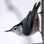 White-breasted Nuthatch MN