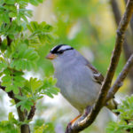 White-crowned Sparrow, Milaca, MN