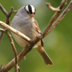 White-crowned Sparrow MN