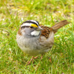 White-throated Sparrow, Clarissa, MN
