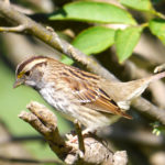 White-throated Sparrow female MN