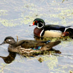 Wood Duck pair on Mississippi R., MN